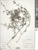 view Oldenlandia umbellata L. digital asset number 1