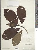 view Rondeletia parviflora Poir. digital asset number 1