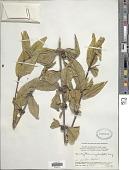 view Hedyotis rigida (Blume) Walp. digital asset number 1