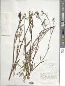 view Kohautia platyphylla Bremek. digital asset number 1