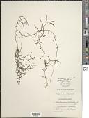 view Oldenlandia uniflora L. digital asset number 1