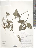 view Virectaria procumbens (Sm.) Bremek. digital asset number 1