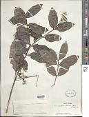 view Rondeletia odorata Jacq. digital asset number 1