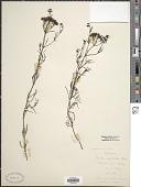 view Houstonia nigricans (Lam.) Fernald digital asset number 1