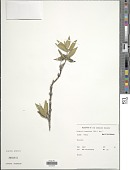 view Hedyotis tomentosa (Valeton) Hosok. digital asset number 1