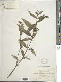 view Hedyotis philippensis (Willd. ex Spreng.) Merr. ex C.B. Rob. digital asset number 1