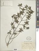 view Stevensia buxifolia Poit. digital asset number 1