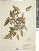 view Ophiorrhiza sp. digital asset number 1