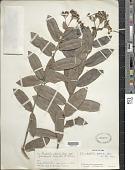 view Rondeletia odorata subsp. grandifolia Fernández & P. Herrera digital asset number 1