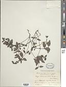 view Lucya tetrandra (L.) K. Schum. digital asset number 1