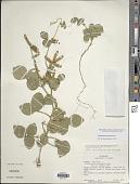 view Calopogonium muconoides Desv. digital asset number 1