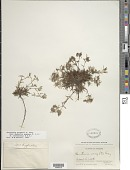 view Houstonia wrightii (A. Gray) A. Gray digital asset number 1