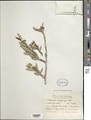 view Isidorea brachycarpa (Urb.) Aiello digital asset number 1