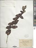 view Tricalysia sessilis (Elmer) Merr. digital asset number 1