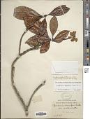 view Gardenia elata Ridl. digital asset number 1