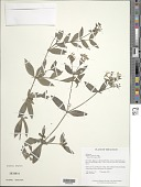 view Sipanea pratensis Aubl. digital asset number 1