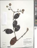 view Uncaria guianensis (Aubl.) J.F. Gmel. digital asset number 1
