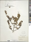 view Exostema myrtifolium Griseb. digital asset number 1