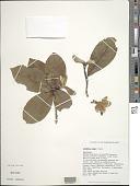 view Gardenia remyi H. Mann digital asset number 1