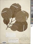 view Gardenia latifolia Aiton digital asset number 1