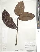 view Posoqueria latifolia (Rudge) Roem. & Schult. digital asset number 1