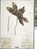 view Gardenia augusta (L.) Merr. digital asset number 1