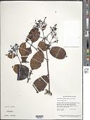 view Ferdinandusa guainiae Spruce ex K. Schum. digital asset number 1