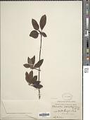 view Tarenna odoratissima digital asset number 1