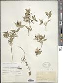 view Bouvardia multiflora (Cav.) Schult. digital asset number 1