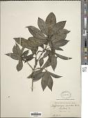 view Tarenna odorata (Roxb.) B.L. Rob. digital asset number 1