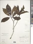 view Pausinystalia macroceras (K. Schum.) Pierre ex Beille digital asset number 1