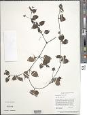 view Coccocypselum guianense (Aubl.) K. Schum. digital asset number 1