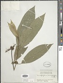 view Urophyllum macrophyllum Korth. digital asset number 1