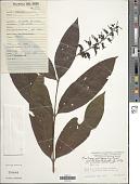 view Bertiera guianensis Aubl. digital asset number 1
