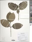 view Posoqueria latifolia (Rudge) Rose & S. digital asset number 1