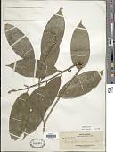 view Urophyllum arboreum (Reinw. ex Blume) Korth. digital asset number 1