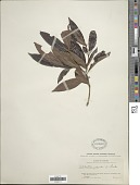 view Alibertia edulis (Rich.) A. Rich. ex DC. digital asset number 1
