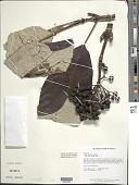 view Isertia hypoleuca Benth. digital asset number 1