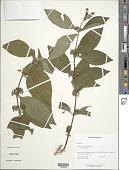 view Sabicea panamensis Wernham digital asset number 1