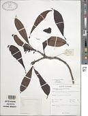 view Leucocodon reticulatum Gardner digital asset number 1