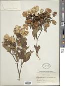 view Calycophyllum candidissimum (Vahl) DC. digital asset number 1