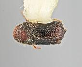 view Phloeocleptus spicatus Wood, 1981 digital asset number 1