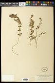 view Euphorbia densiflora (Klotzsch & Garcke) Klotzsch digital asset number 1