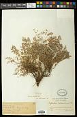 view Euphorbia melanadenia Torr. digital asset number 1
