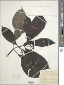 view Psychotria sp. digital asset number 1