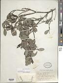view Psychotria revoluta DC. digital asset number 1