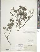 view Psychotria odorata C. Wright ex Griseb. digital asset number 1