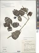 view Cyclophyllum barbatum (G. Forst.) N. Hallé & J. Florence digital asset number 1