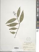 view Psychotria deflexa DC. digital asset number 1