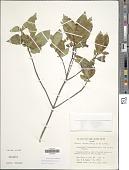 view Timonius nitidus (Bartl. ex DC.) Fern.-Vill. digital asset number 1